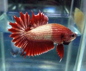 Combtail Betta