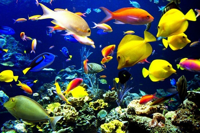 colorful freshwater fishes