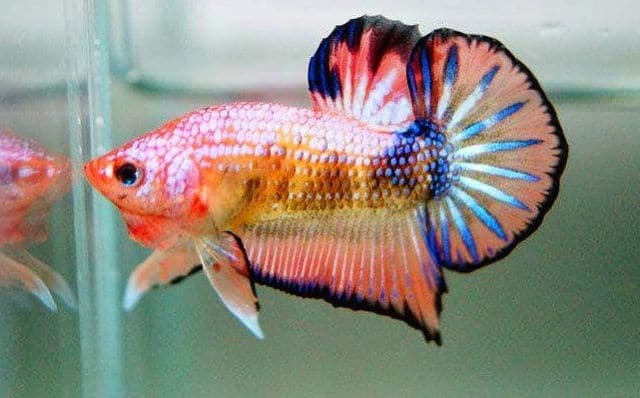 Types Of Betta Fish Updated List 2020 Inland Aquatics