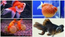 types of gold fish