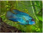 Electric blue acara freshwater fish care information