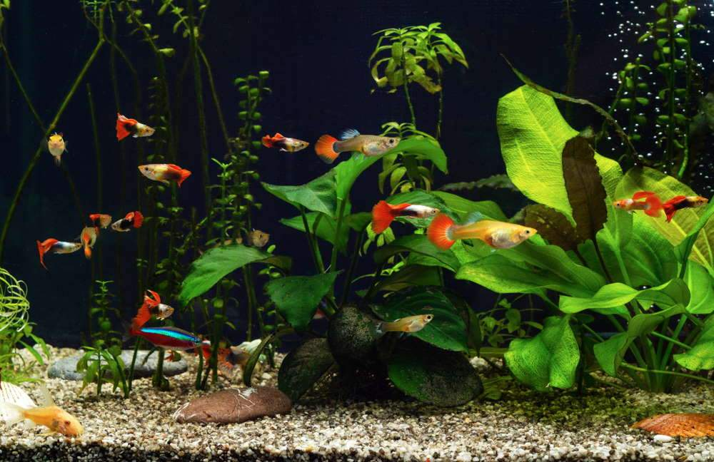 Care Guide for Guppies