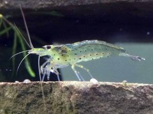 Complete Ghost Shrimp Care Guide