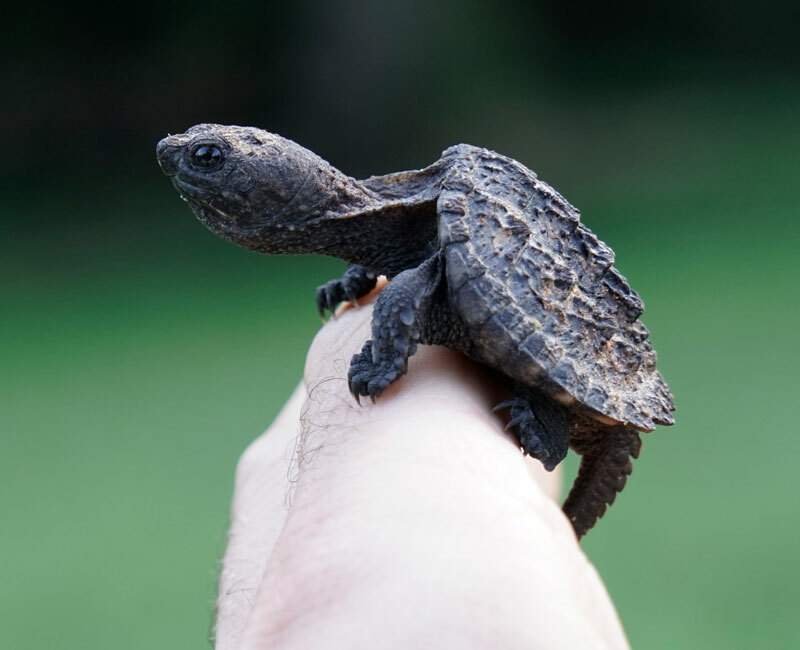 Baby Common Snapping Turtles
