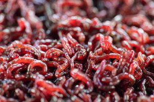 Live Bloodworms