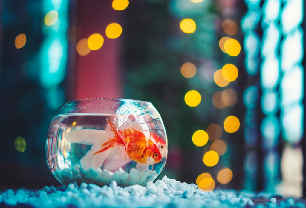 A goldfish in a fishbowl